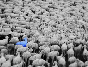 pecora blu